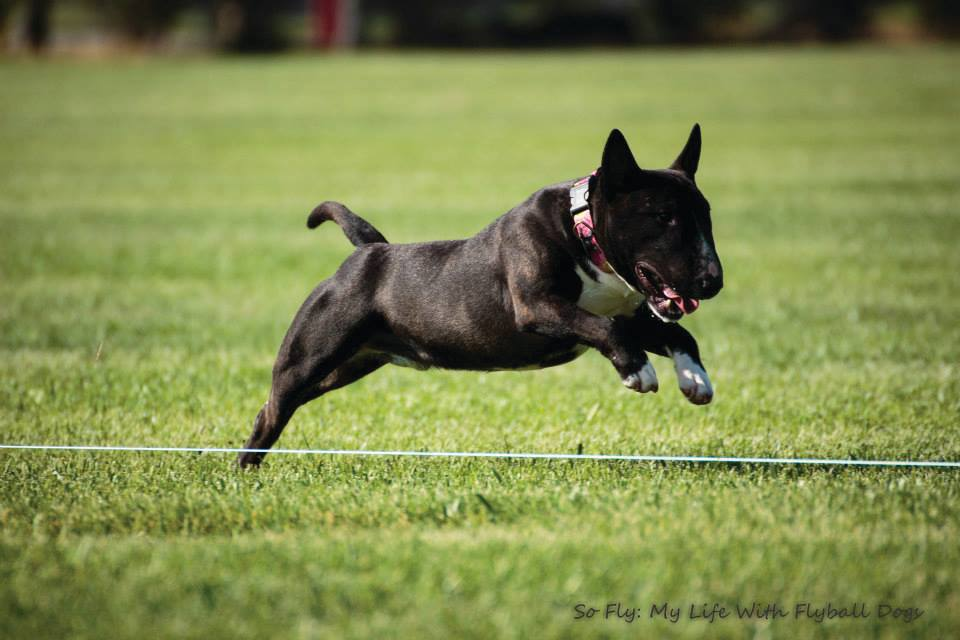 Ace Lure Coursing